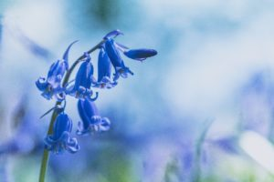 bluebell photo to illustrate blog on mindfulness and me
